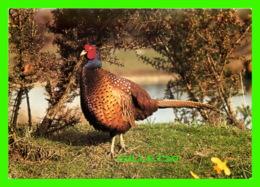 OISEAUX, BIRDS - PHEASANT, PHASIANUS COLCHICUS - CELLECTACARD - J. ARTHUR DIXON - - Oiseaux