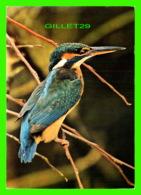 OISEAUX, BIRDS - KINGFISHER, ALCEDO ATTHIS - T. TILFORD & D AVON - JUDGES LIMITED - - Oiseaux