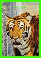 TIGRE - TIGER - PARC SAFARI AFRICAIN - TRAVEL IN 1984 - - Tigres