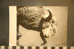 CP, Animaux, Moutons Transhumance Le Roi Du Troupeau N°265 Edition F Francou - Other