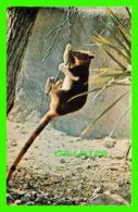 KANGAROO - GOODFELLOW'S TREE KANGAROO - TRAVEL IN 1976 - - Animaux & Faune