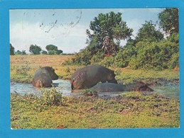 PARC NATIONAL ALBERT. HIPPOPOTAMES. - Kinshasa - Léopoldville