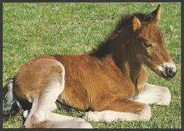 Animals------Horse------old Postcard - Cavalli