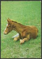 Animals------Horse------old Postcard - Pferde