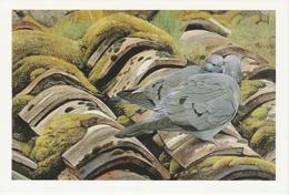 504.  PIGEON  COLOMBIN - Oiseaux