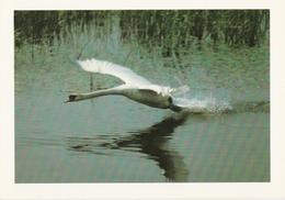 525.  CYGNE TUBERCULE - Oiseaux