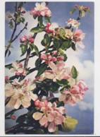 AI30 Apple Blossom - Flowers, Plants & Trees