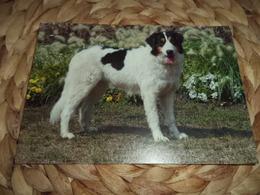 Hund Dog Tornjak  Postkarte - Dogs