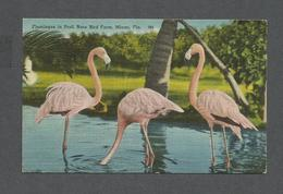 ANIMAUX - ANIMALS - FLAMINGOS IN POOL RARE BIRD FARM MIAMI FLORIDA - FLAMANDS ROSE - Oiseaux
