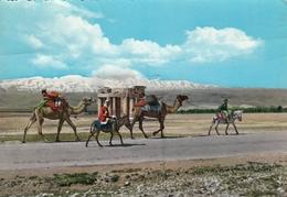 Liban Baalbeck - Camel Caravane - Lebanon