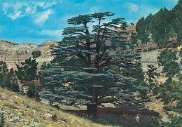 Liban - The Cedars In Summer - Libano