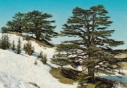 Liban - The Cedars In Winter , Kruger - Libano