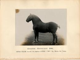 Horse, Morston Gonnaught 4590, Suffolk Stallion,Pratt, Trimley - Sports