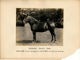 Horse, Ashmoor Bessie 10367, Suffolk Mare, Carlyle Smith, Woodbridge - Sports