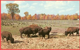 Bisons Dans L'ouest / Buffalos In The West; (0263) - Etats-Unis