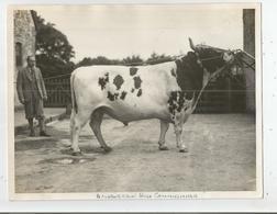 GRANDE BRETAGNE PHOTO VACHES ET TAUREAUX ANNEES 40/50(BRITISH TAURUS AND COW) AUCHENBRAN HIGH COMMISSIONNER - Other