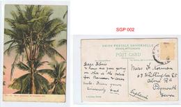 Rare Specimen Of A Coconut Tree No 12 Coloured Postcard Stamp Removed Circa Early 1900s - Singapore