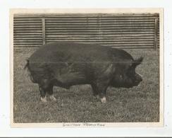 GRANDE BRETAGNE PHOTO CONCOURS COCHON (BRITISH PIG) SWINTON RESOLUTION - Other
