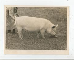 GRANDE BRETAGNE PHOTO CONCOURS COCHON (BRITISH PIG) - Other