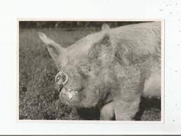 GRANDE BRETAGNE PHOTO CONCOURS COCHON (BRITISH PIG) SWINTON STANDARD JULY 1950 - Other