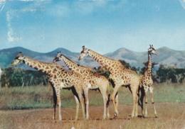 BASUTOLAND  LESOTHO :  Girafes   . Carte Editions LE TALLEC. Oblitération De Maseru De 1956 - Lesotho