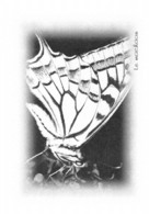 Papillons - Le MACHAON - Tirage Limité 12 Ex - Vlinders