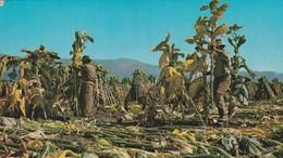 SALTA. COSECHA DEL TABACO. GRAFICA ED. CPA VOYAGEE CIRCA 1970s - BLEUP - Argentina