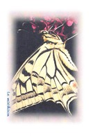 PAPILLON - Le Machaon - Tirage Limité 12 Ex - Vlinders