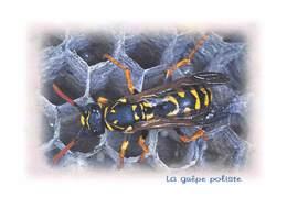 Insectes - La GUEPE Poliste - Tirage Limité 12 Ex - Insectes