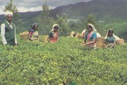 Postcard Tea Pluckers Hill Country Sri Lanka My Ref  B23517 - Cultivation