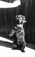 PHOTO Ancienne Un Adorable Petit Chien Noir De Cirque Peluche Faisant Le Beau Pour Un Sucre - Photos