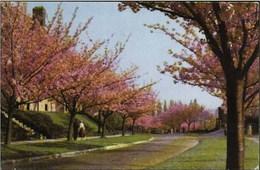 BOITSFORT-BOSVOORDE - Le Logis - Cerisiers En Fleurs - Watermael-Boitsfort - Watermaal-Bosvoorde