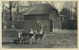 Zeister Dierenpark - Damherten - ZOO [AA40 0.112 - Pays-Bas