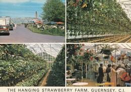 Postcard The Hanging Strawberry Farm St Saviour Guernsey By Guernsey Press My Ref  B23530 - Guernsey