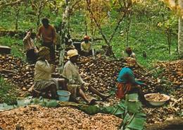CP - PHOTO - IMAGES DU GABON - DECORTICATION DES CABOSSES DE CACAO DANS LE WOLEU N'TEM - A 178 D - J . TROLEZ - Gabón