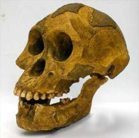 MOULAGE FOSSILE Crane Australopithecus Afarensis Lucy Hominid Skull Fossil - Fossielen
