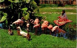 Birds Seminole Indian Girl Feeding Flamingos In Florida - Birds
