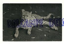 Guépard. Photocongo Matadi. 1953. Congo Belge - Dieren
