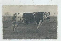 Ourville-en-Caux (76): Photo PF GP D'une Vache Normande De Concours Agricole En 1950 RARE. - Ourville En Caux
