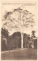 R147028 Naked Indian. Pithecolobium Fragans. Trinidad. Davidson And Todd - Cartes Postales