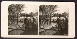 North-Africa ± 1900, Ostrich-farm In Matarije - Stereoscoop