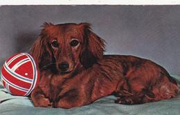 CPSM Chien Dog Teckel à Poils Longs Dackel Daschsund  (2 Scans) - Chiens