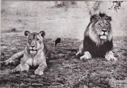 LION AND LIONESS   AUTENTICA 100 % - Leoni