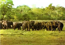 [MD3082] CPM - SRI LANKA CYLON - A HERD OF WILD ELEPHANTS AT LAHUGALLA - Non Viaggiata - Sri Lanka (Ceylon)