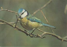 Postcard Of A Blue Tit (6319) - Birds