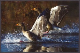 Iceland / Island - Fauna, Birds, Greylag Goose (anser Anser), Valley Reykiavik, Official Iceland Post Postcard - Islande
