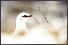 Iceland / Island - Fauna Birds Rock Ptarmigan (Lagopus Muta) In Vatnajokull National Park Official Iceland Post Postcard - Islande