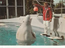 Vancouver Public Aquarium, Stanley Park, Vancouver, British Columbia The Beluga Is An Arctic White Whale - Vancouver