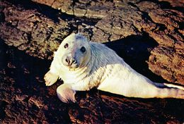 Postcard Of A Young Seal (31319) - Animals
