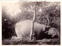 AFRIQUE. COTE D IVOIRE. Photo. Eléphant Tué Près De NIANGBO, Département De KATIOLA. Photo Originale 1930 - Afrique